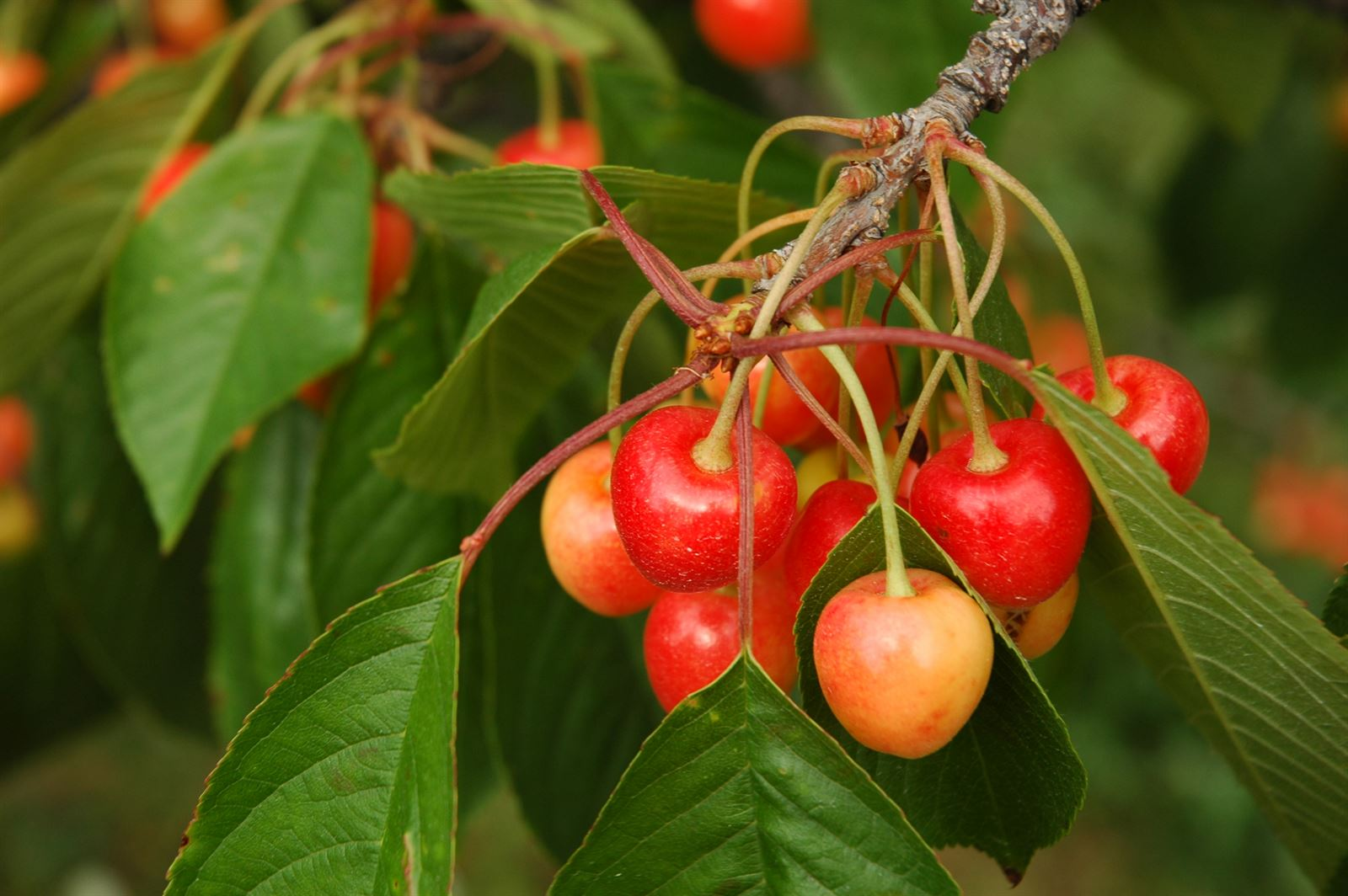 Cherries on Old Mission Peninsula