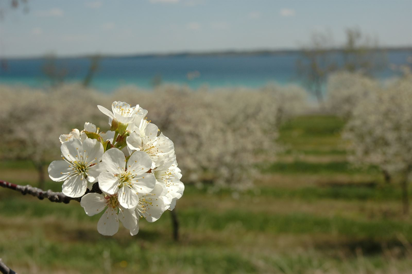 Cherry Blossom on Old Mission Peninsula